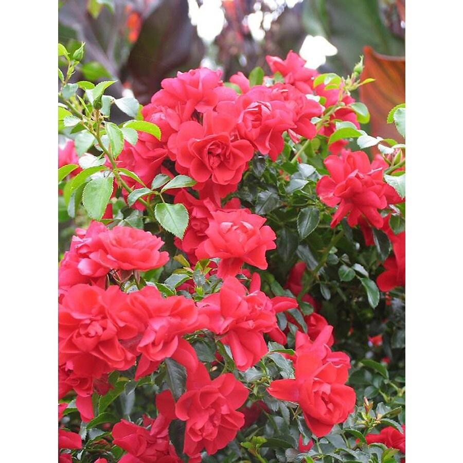 Monrovia 1.6-Gallon in Pot (with Soil) Flower Carpet Scarlet Groundcover Rose (P17373)