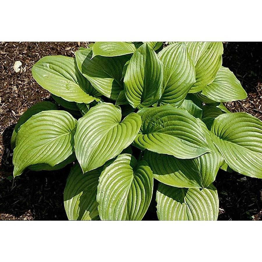 Monrovia 3-Quart Aphrodite Plantain Lily