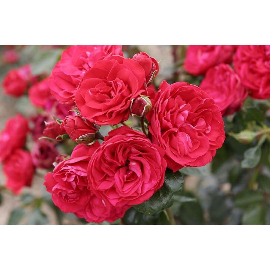 Monrovia 3.58-Gallon in Pot (with Soil) Crimson Sky Climbing Rose