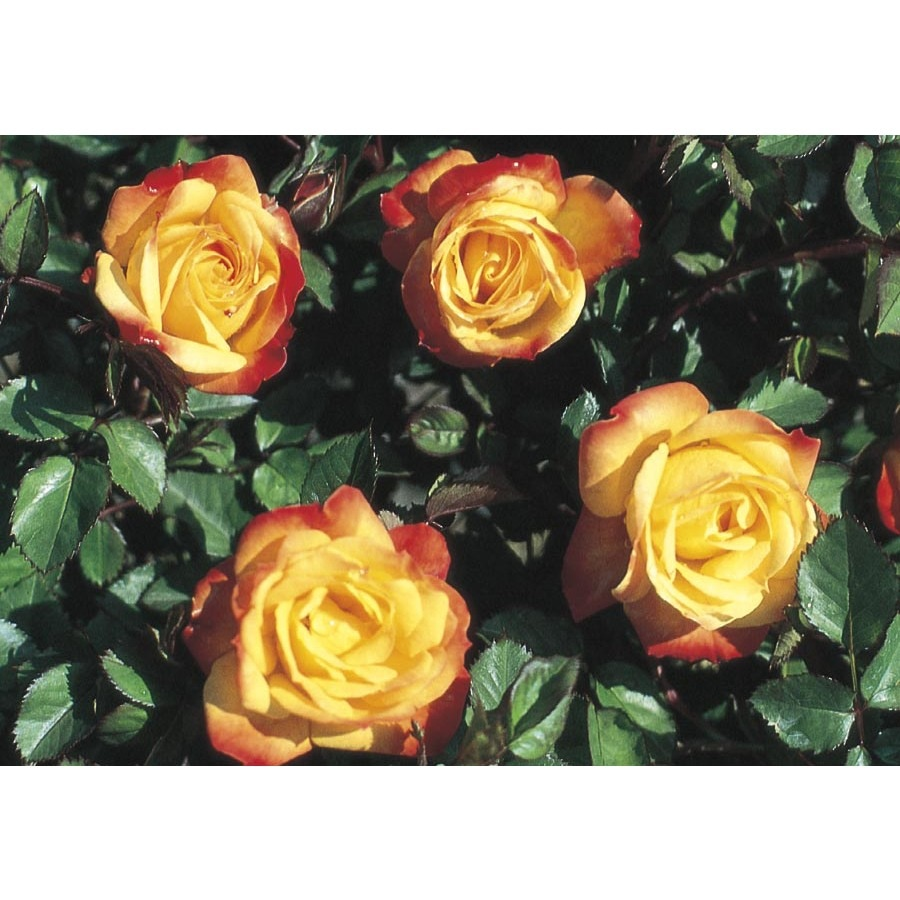 Monrovia 1.6-Gallon Rainbow Sunblaze Rose (LW02385)