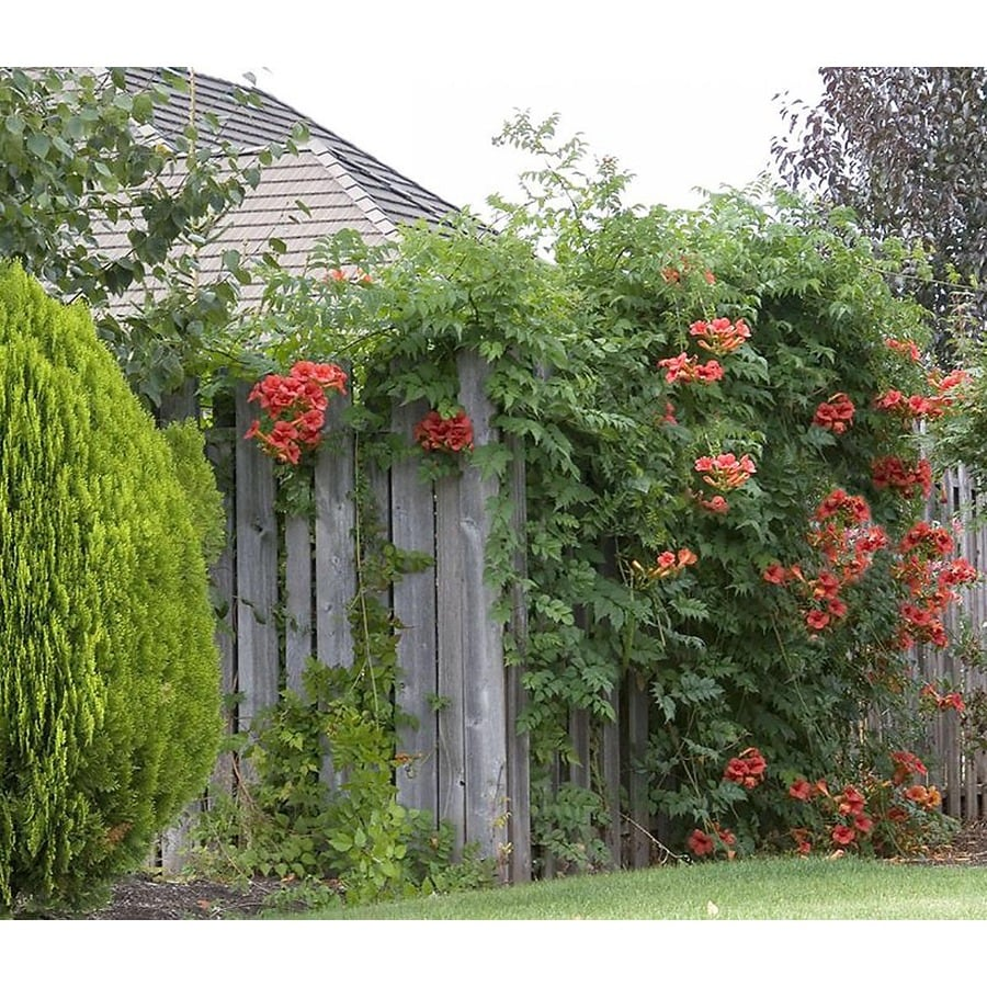 Monrovia 3.6 Gallon- Trumpet Creeper