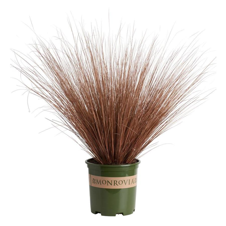 Monrovia 3-Quart Fox Red Curly Sedge