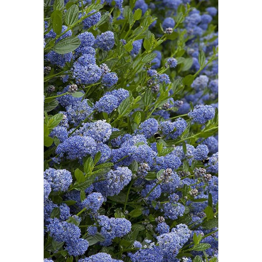 Monrovia 3.58-Gallon Blue Victoria California Lilac Flowering Shrub