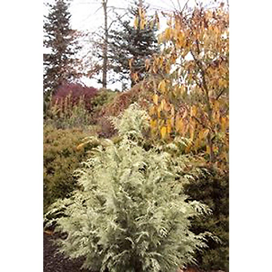 Monrovia 1.6-Gallon Silver Queen Port Orford Cedar Screening Shrub