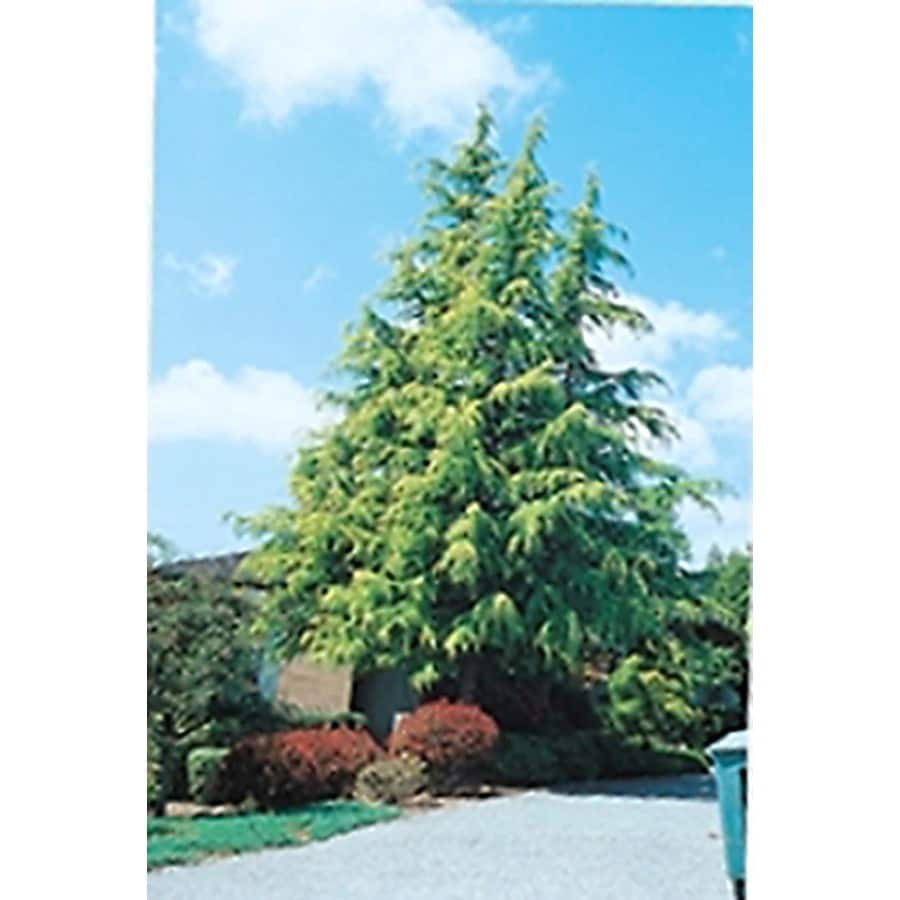 Monrovia 3.58-Gallon Golden Deodar Cedar Screening Shrub