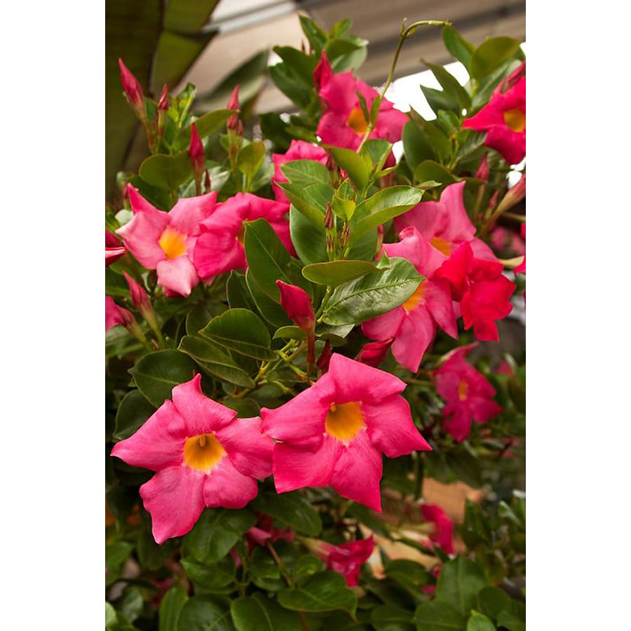 Monrovia 1.6-Gallon Red Riding Hood Mandevilla