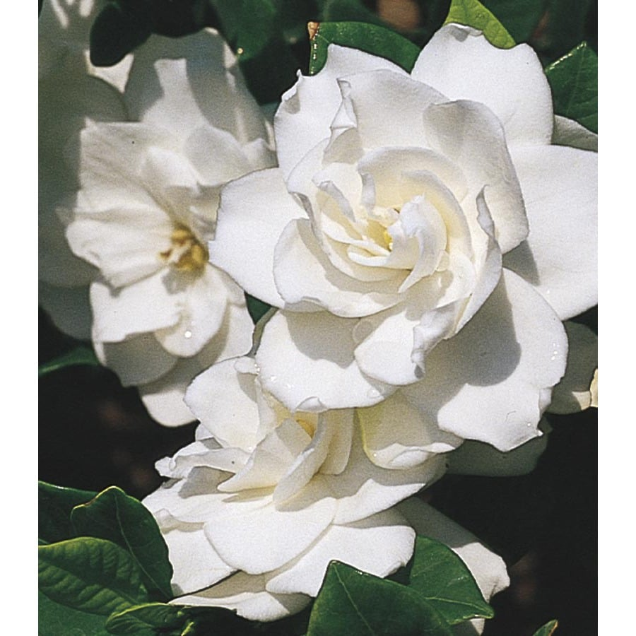 Monrovia White Aimee Gardenia Flowering Shrub In Pot With