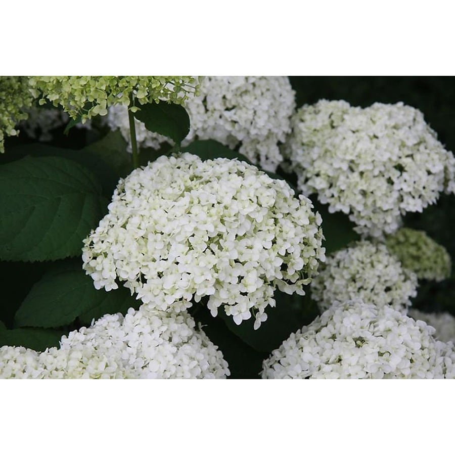 Monrovia 1.6-Gallon White Annabelle Hydrangea Flowering Shrub