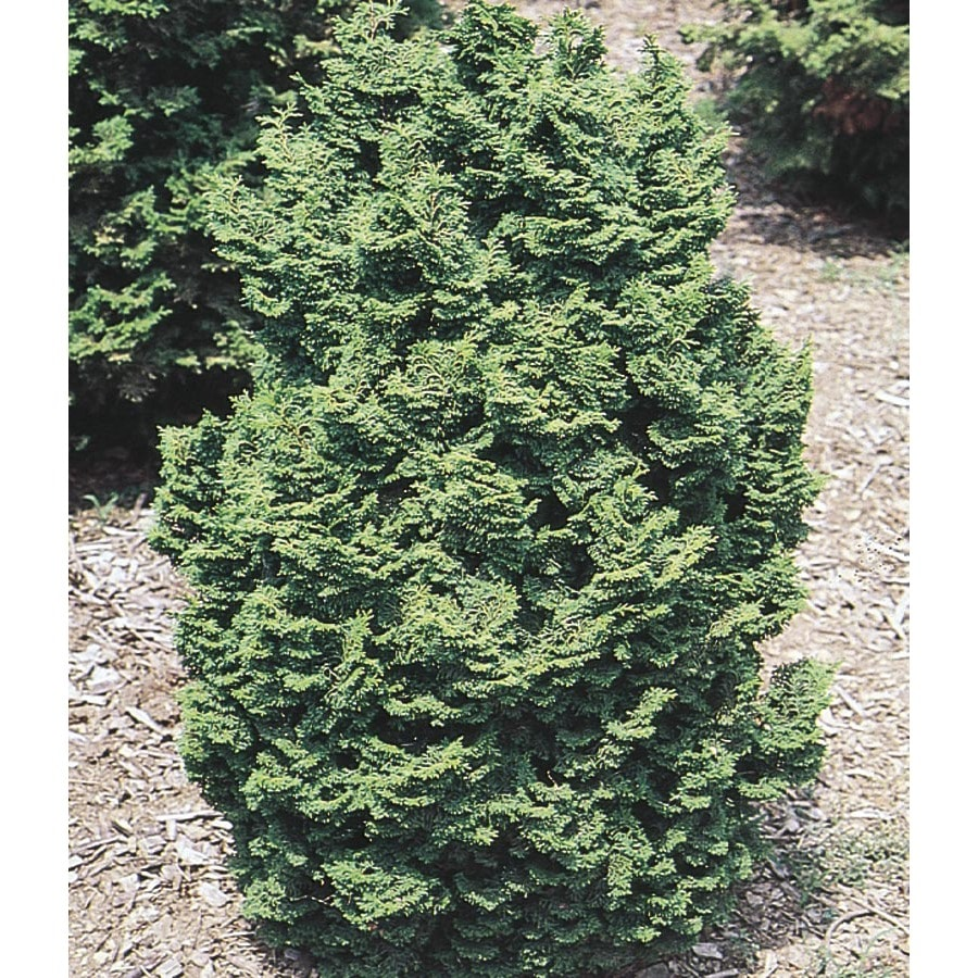 Monrovia 3.58-Gallon Koster's Hinoki Cypress Feature Shrub (L24175)