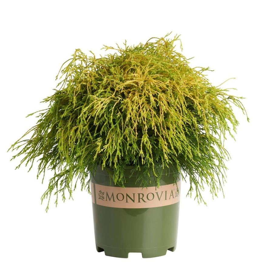 Monrovia 1.6-Gallon Golden Charm Thread Branch Cypress Foundation/Hedge Shrub