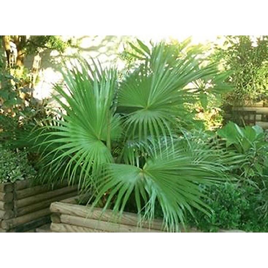 monrovia 3 58 gallon white dwarf palmetto feature tree at lowes com