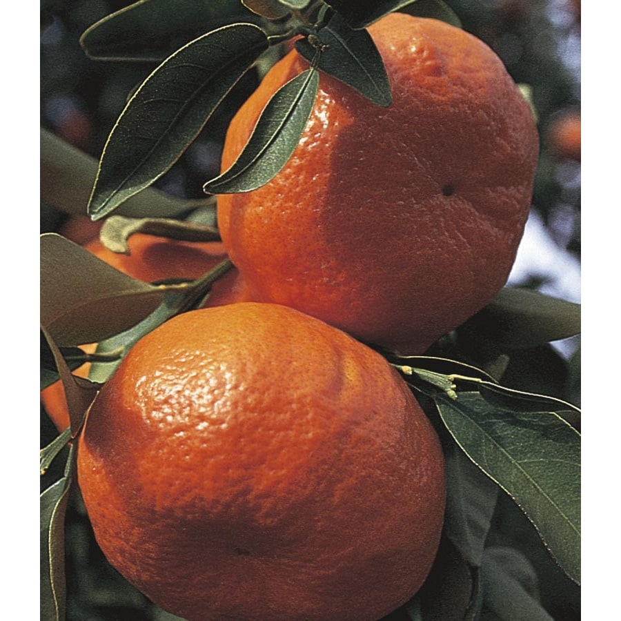 Monrovia 3.58-Gallon Dancy Tangerine Tree (L4688)