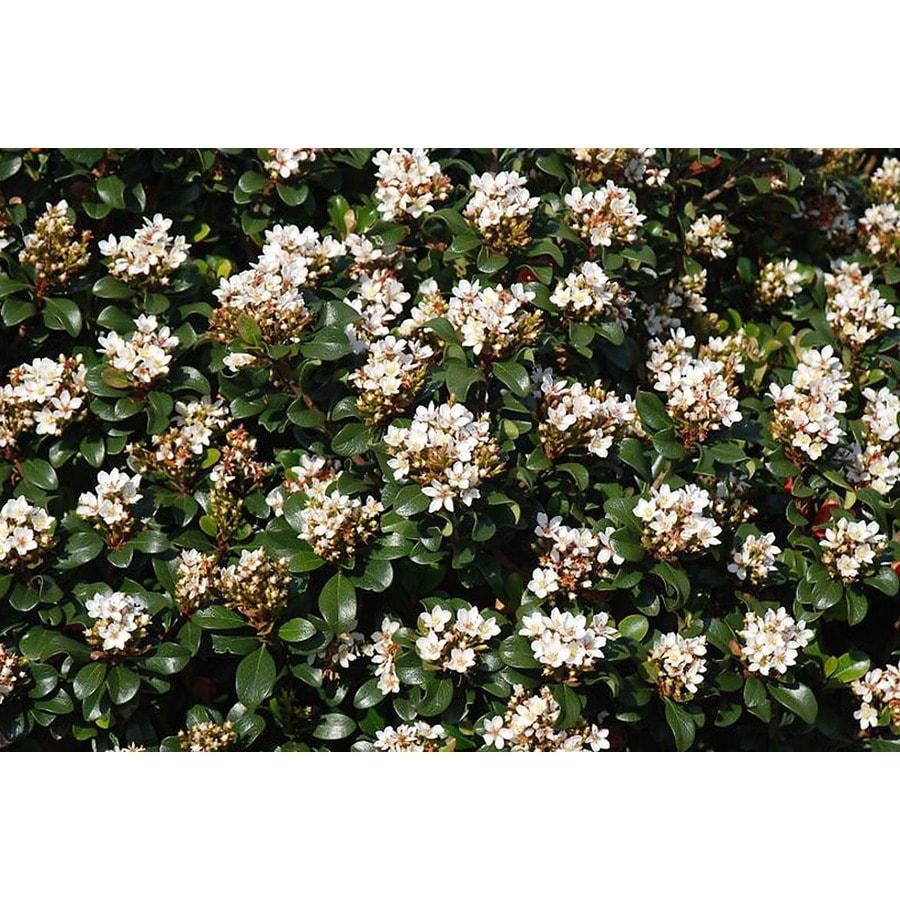Monrovia 2.6-Quart White Southern Moon Yedda Hawthorn P20730 Flowering Shrub