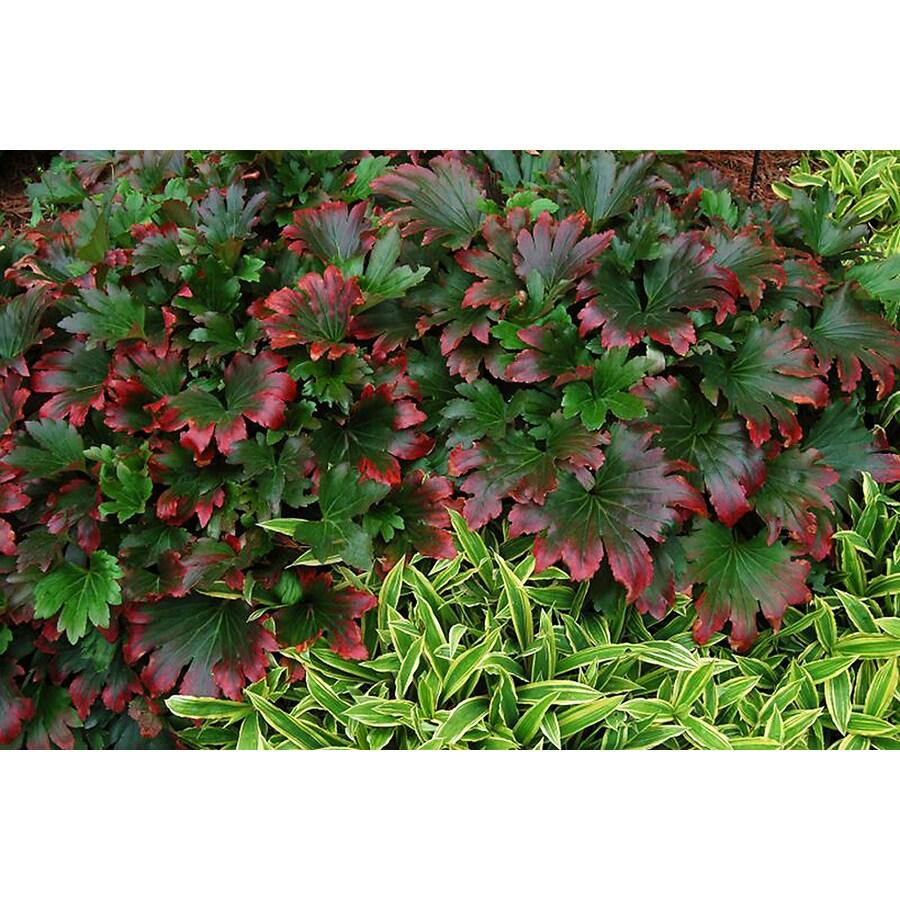 Monrovia 2.6-Quart Red-Leafed Mukdenia