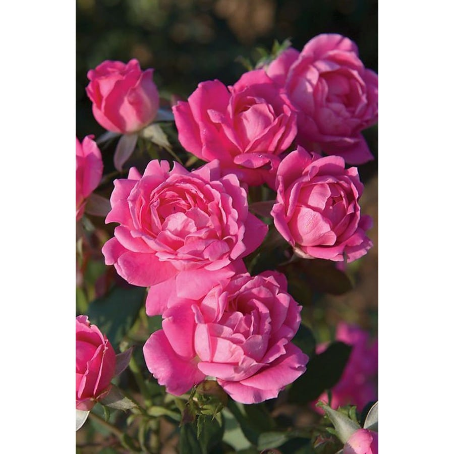 Monrovia 3.58-Gallon in Pot (with Soil) Pink Double Knock Out Rose