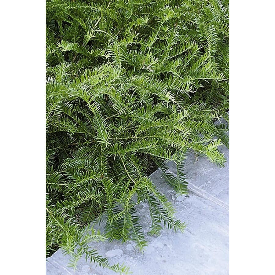 Monrovia 1.6-Gallon Spreading Japanese Plum Yew Foundation/Hedge Shrub
