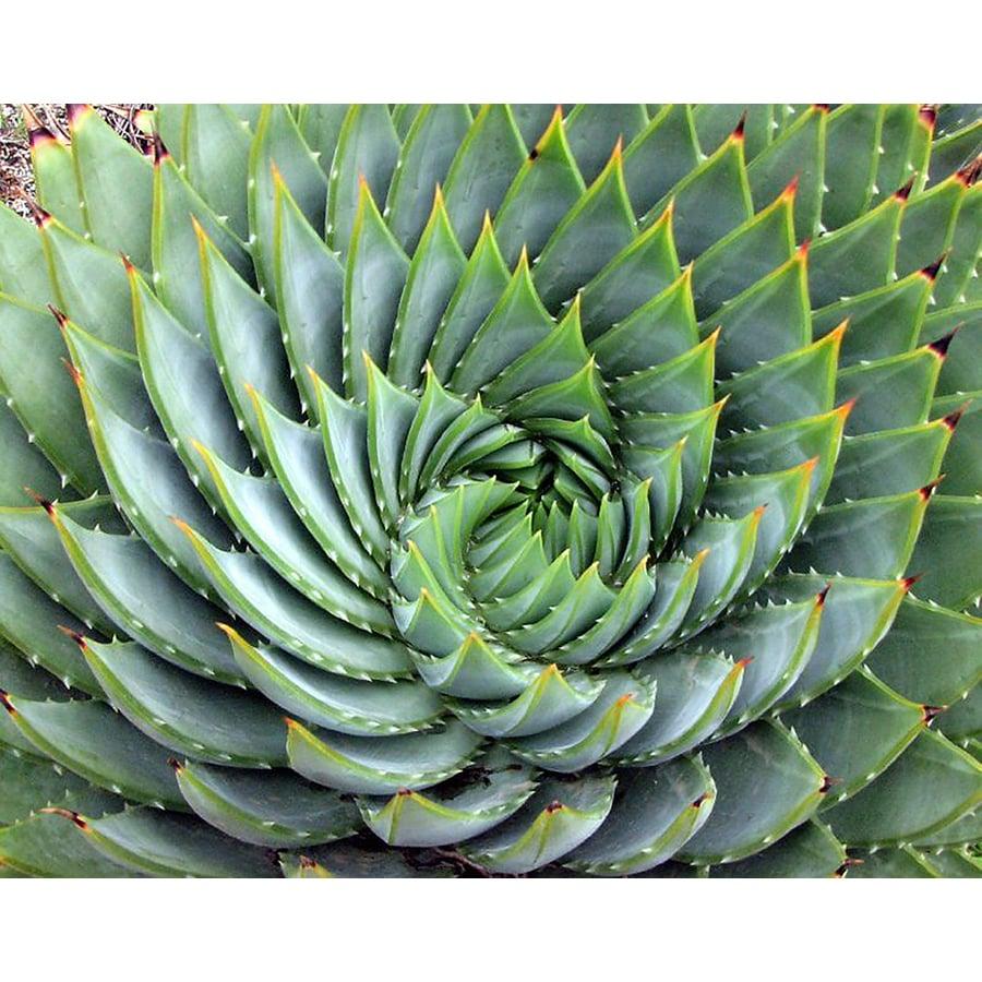 Monrovia 1.6-Gallon Spiral Aloe