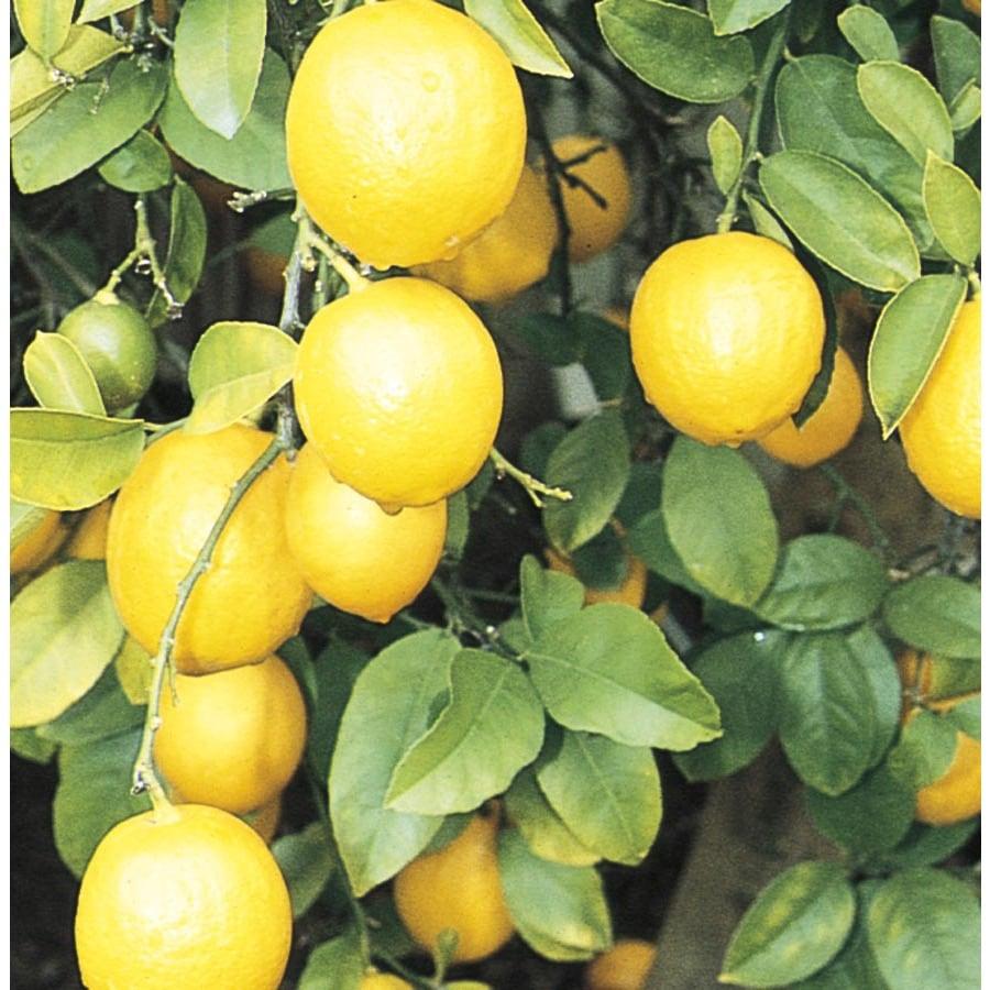 Monrovia 3.58-Gallon Meyer Lemon Tree (L4684)