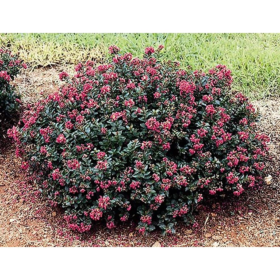 Shop monrovia 1 6 gallon pink pocomoke crape myrtle for Pink flowering shrubs