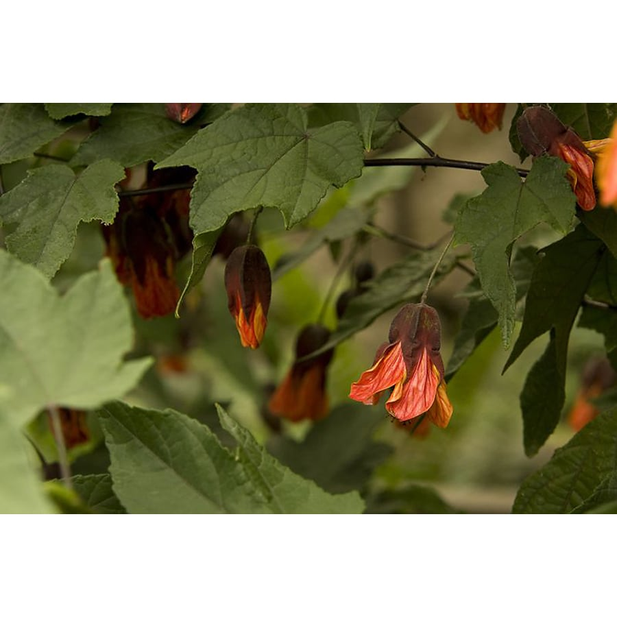 Monrovia 3.58-Gallon Orange Cascade Dawn Flowering Maple Flowering Shrub