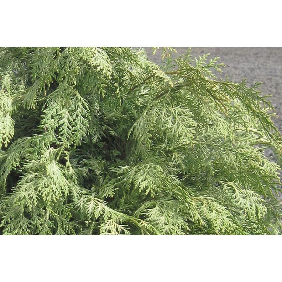 Monrovia 1.6-Gallon Snow Queen Port Orford Cedar Foundation/Hedge Shrub