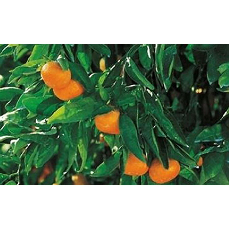 Monrovia 3.58-Gallon Owari Satsuma Mandarin Orange Fruit Tree