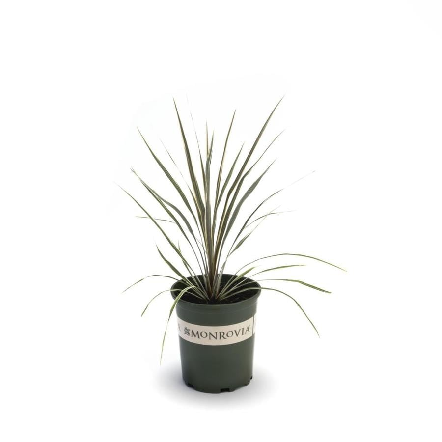 Monrovia 3-Quart White Torbay Dazzler Dracaena Palm Flowering Shrub