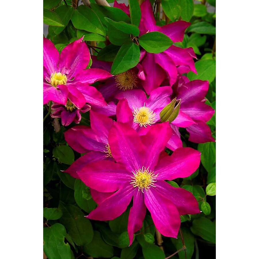 Monrovia 3 Quart- Pink Champagne Clematis