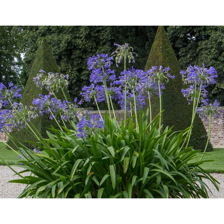 Monrovia 1-Gallon Graskop Lily of The Nile