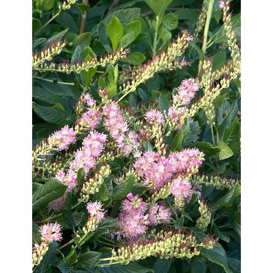 Monrovia 2.6-Quart Pink Ruby Spice Summersweet Flowering Shrub