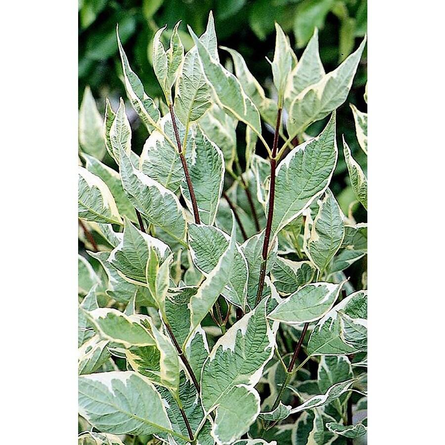 Monrovia 1.6-Gallon White Variegated Red Twig Dogwood Flowering Shrub