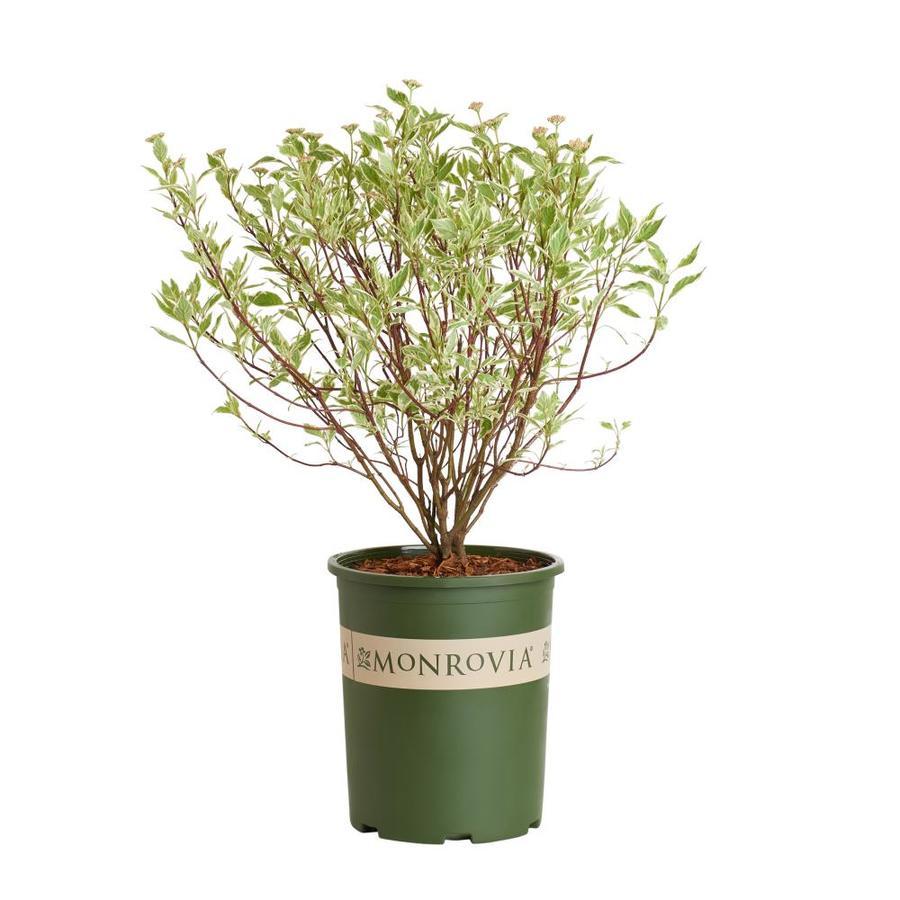 Monrovia 3.58-Gallon White Variegated Red Twig Dogwood Flowering Shrub