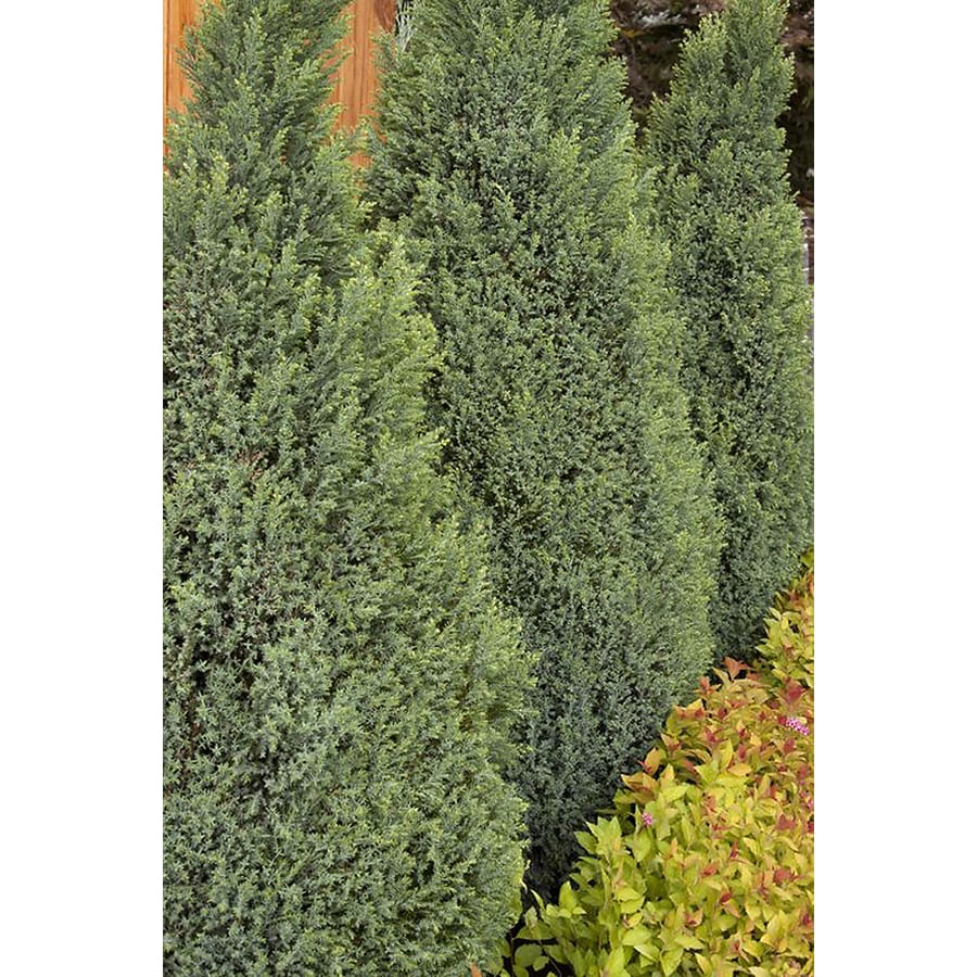 Monrovia 1.6-Gallon Snow White Port Orford Cedar Foundation/Hedge Shrub