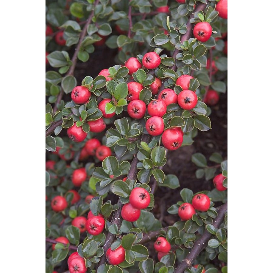 Monrovia 1.6-Gallon Pink Cranberry Cotoneaster Flowering Shrub