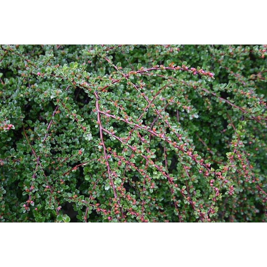 Monrovia 2.6-Quart Blue Tom Thumb Cranberry Cotoneaster Flowering Shrub