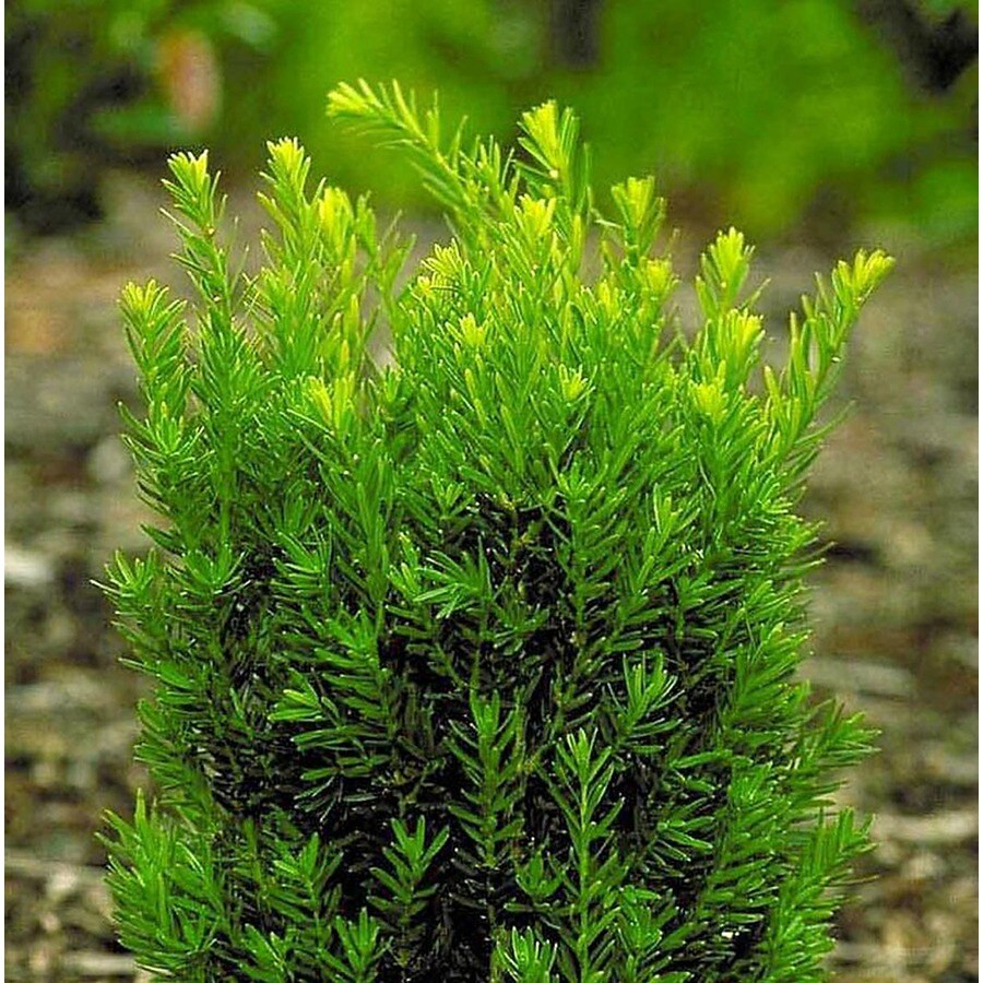 Monrovia Meyer S Yew Screening Shrub In Pot With Soil At