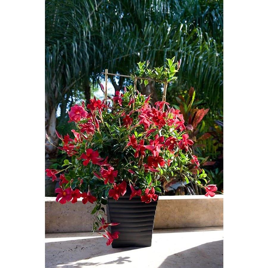 Monrovia 1.6-Gallon Sun Parasol Pretty Crimson Mandevilla