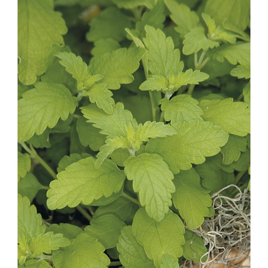 Monrovia 2.6 Quart Hint Of Gold Caryopteris (L20474)