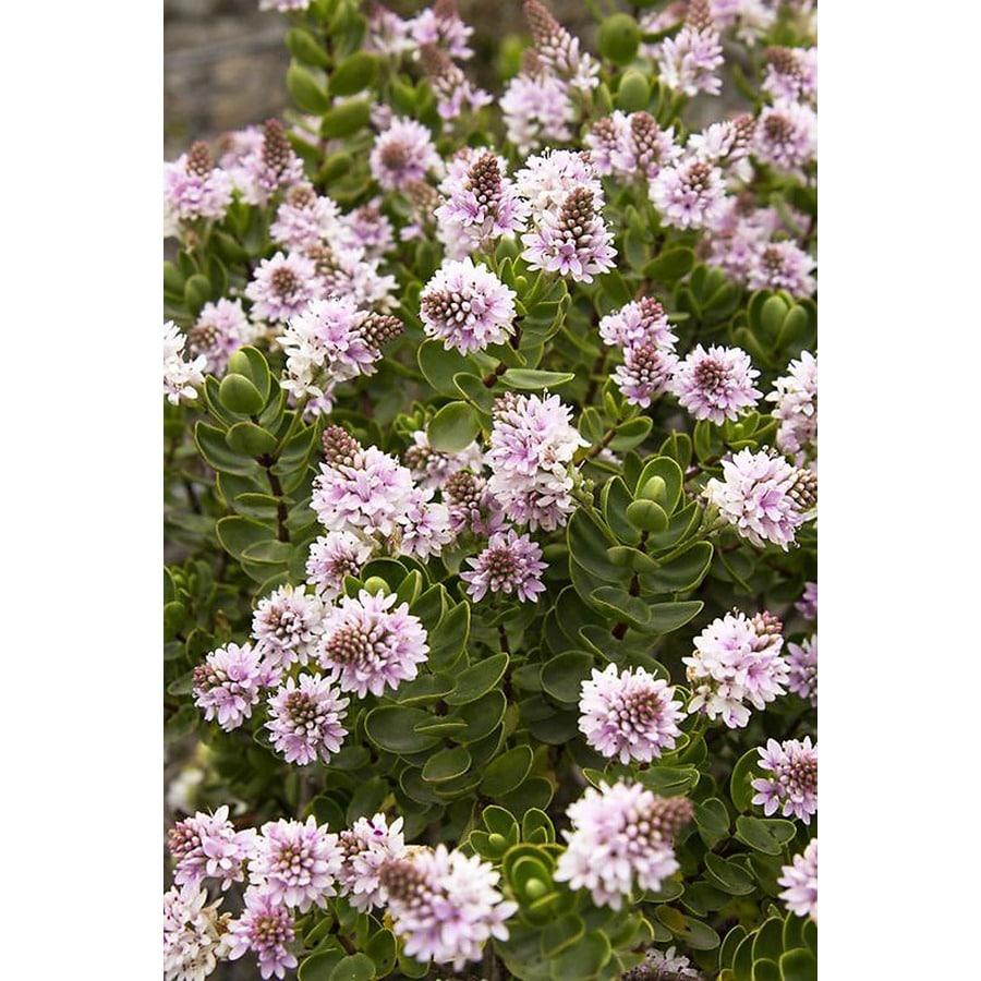 Monrovia 1.6-Gallon Purple Lindsayi Hebe Flowering Shrub
