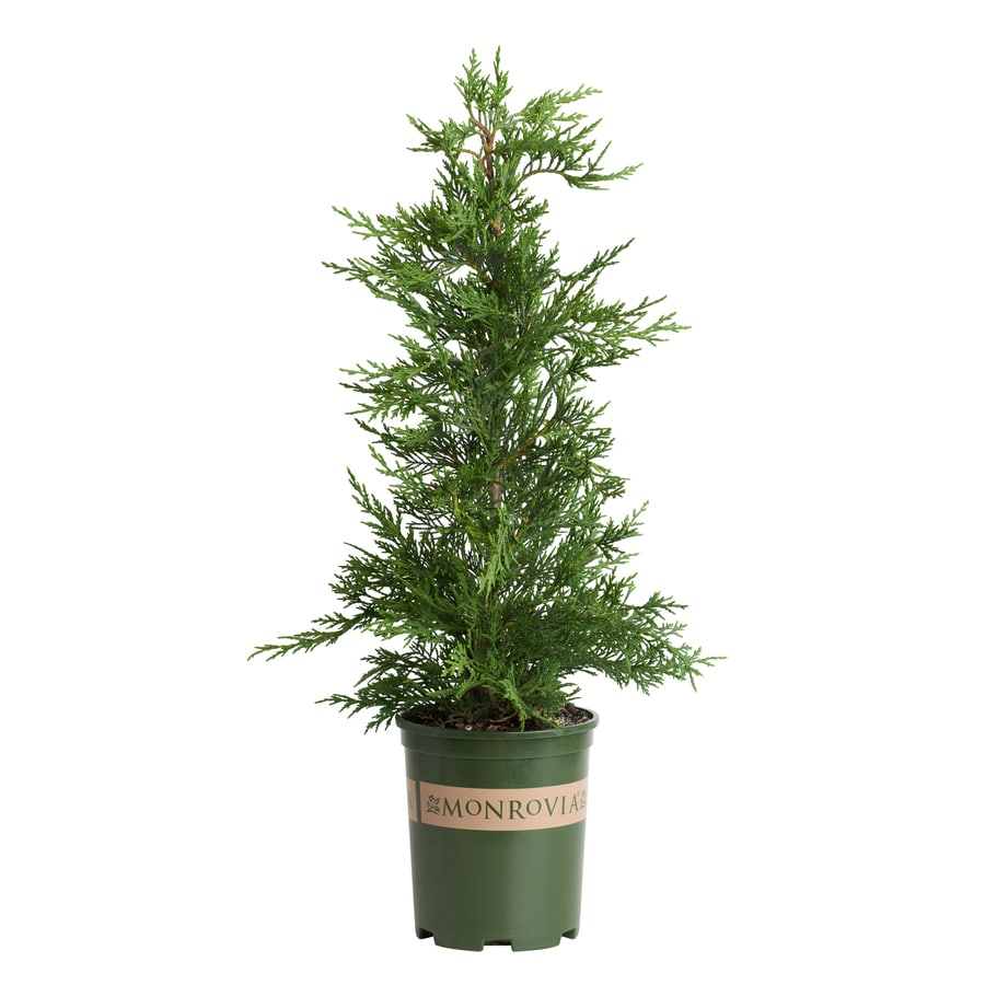 Monrovia 2.6-Quart Emerald Isle Leyland Cypress Screening Shrub