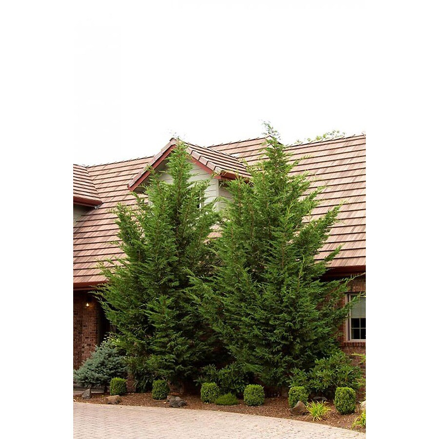 Monrovia 3.58-Gallon Emerald Isle Leyland Cypress Screening Shrub