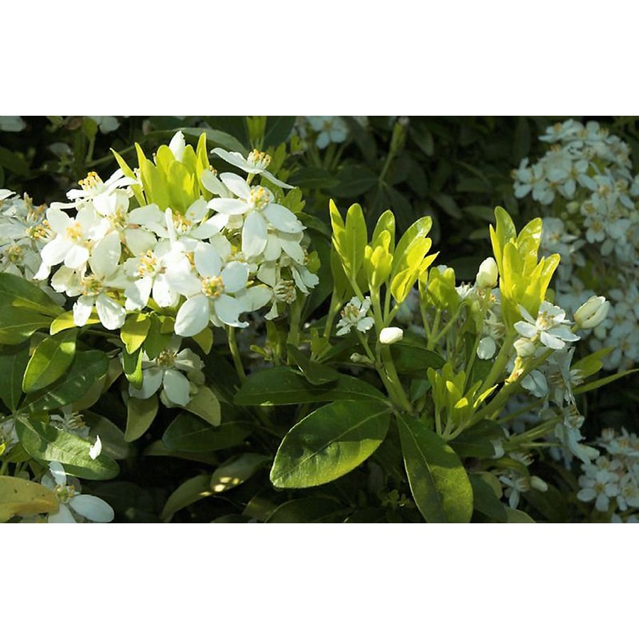 Monrovia 1.6-Gallon White Sundance Mexican Orange Blossom Flowering Shrub