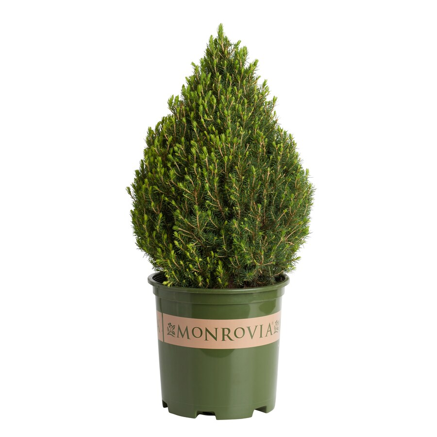 Monrovia 3.58-Gallon Tiny Tower Italian Cypress Accent Shrub