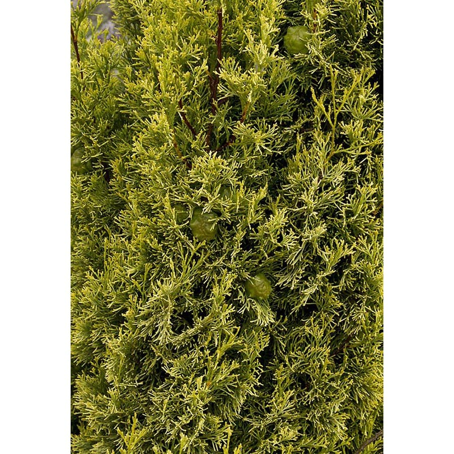 Monrovia 3.58-Gallon Swane's Golden Italian Cypress Screening Shrub