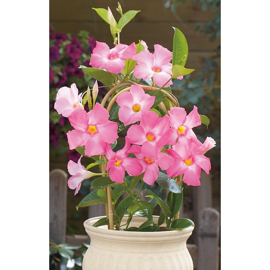 Shop Monrovia 16 Gallon Sun Parasol Giant Pink Mandevilla At Lowes