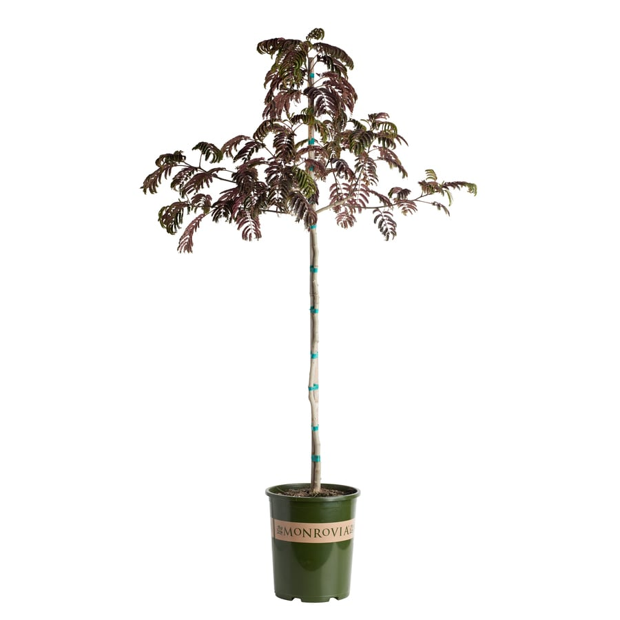 Monrovia 3.58-Gallon Summer Chocolate Mimosa Tree Feature Tree (L21445)