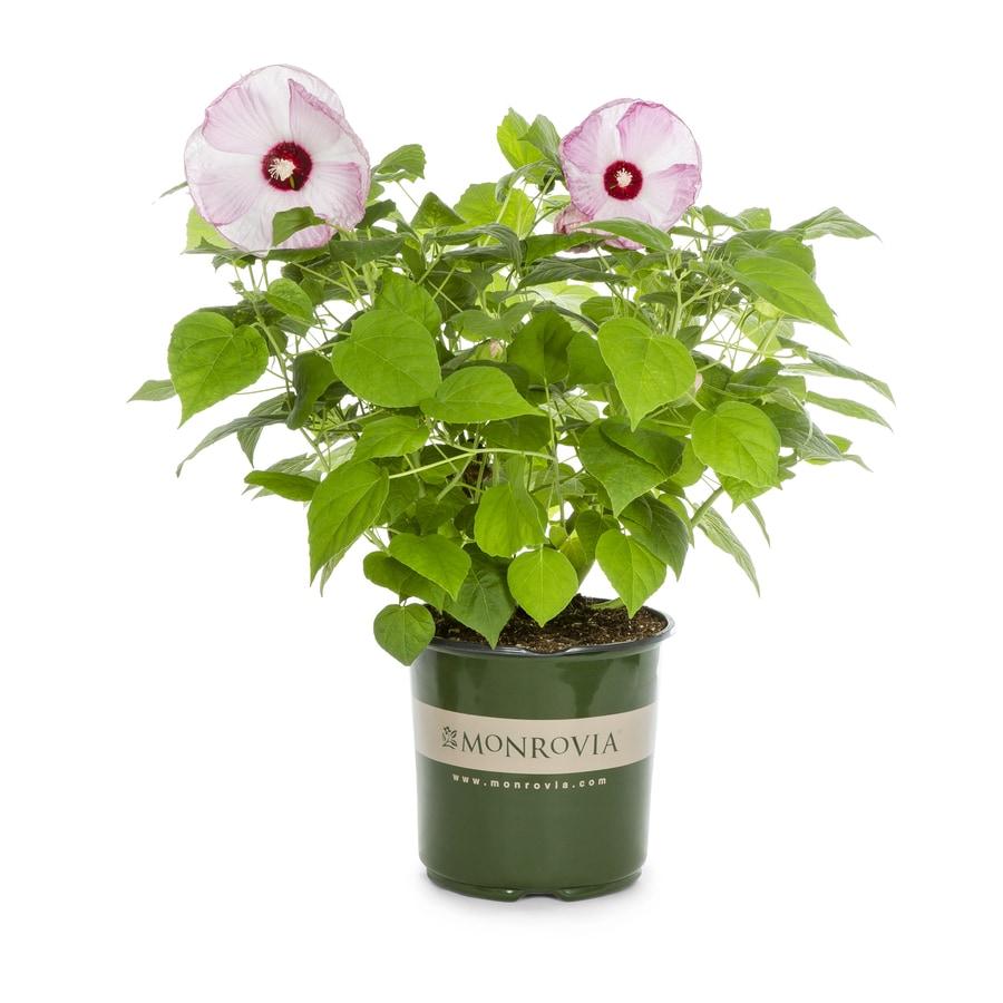 Monrovia 1 Gallon In Pot Strawberry Swirl Hibiscus At Lowescom