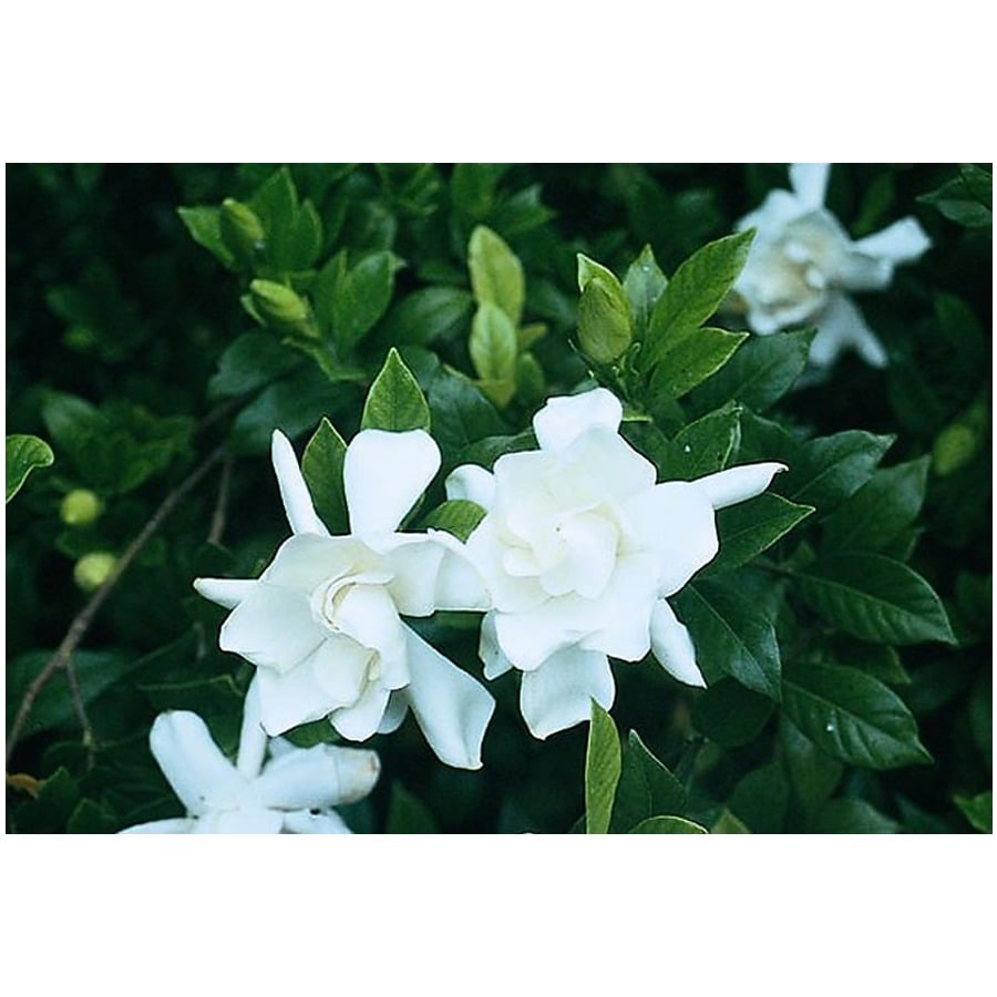 Monrovia 2.6-Quart White Frostproof Gardenia Flowering Shrub