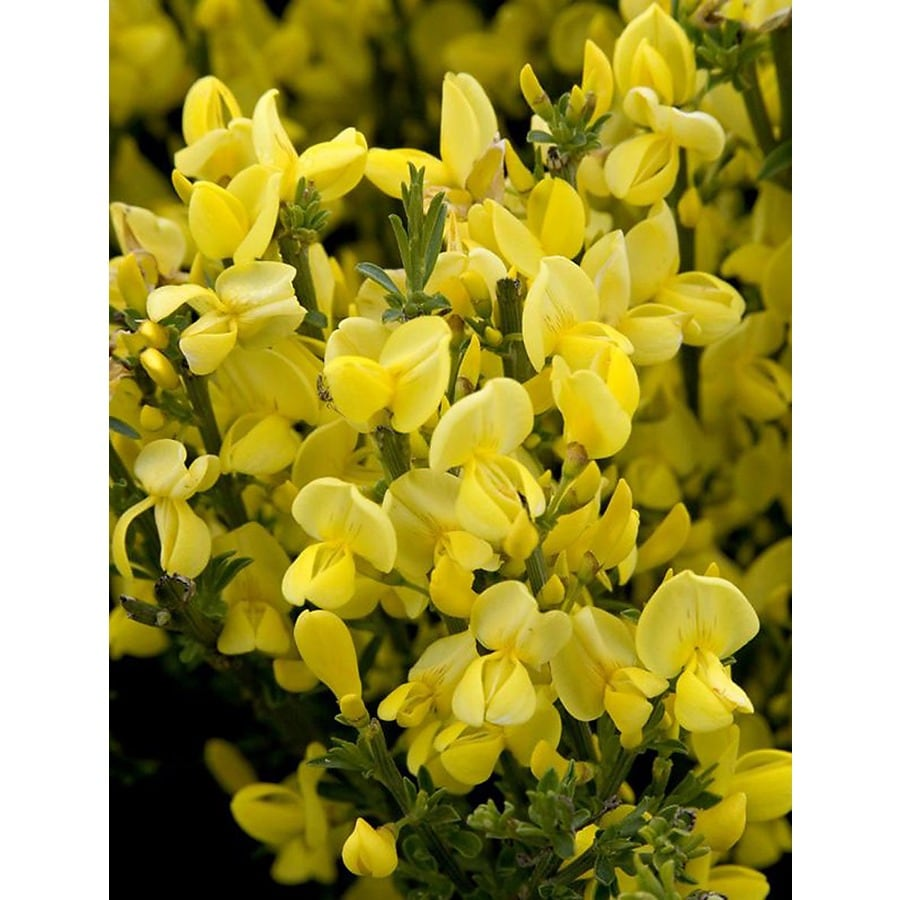 Monrovia Yellow Allgold Scotch Broom Flowering Shrub In Pot With