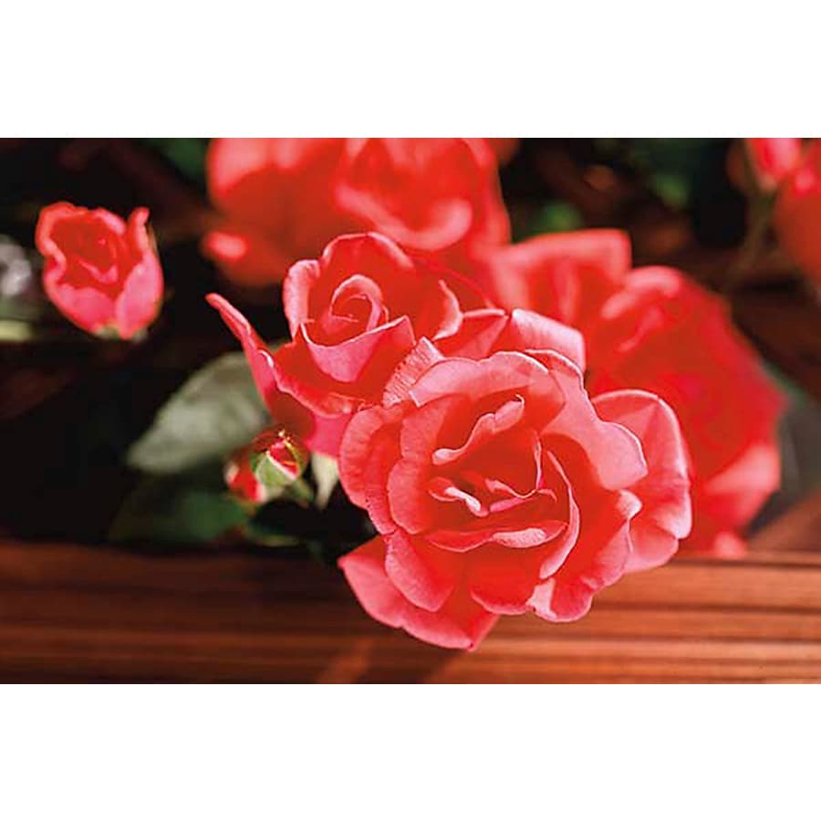 Monrovia 3.58-Gallon in Pot (with Soil) Blaze Of Glory Climbing Rose